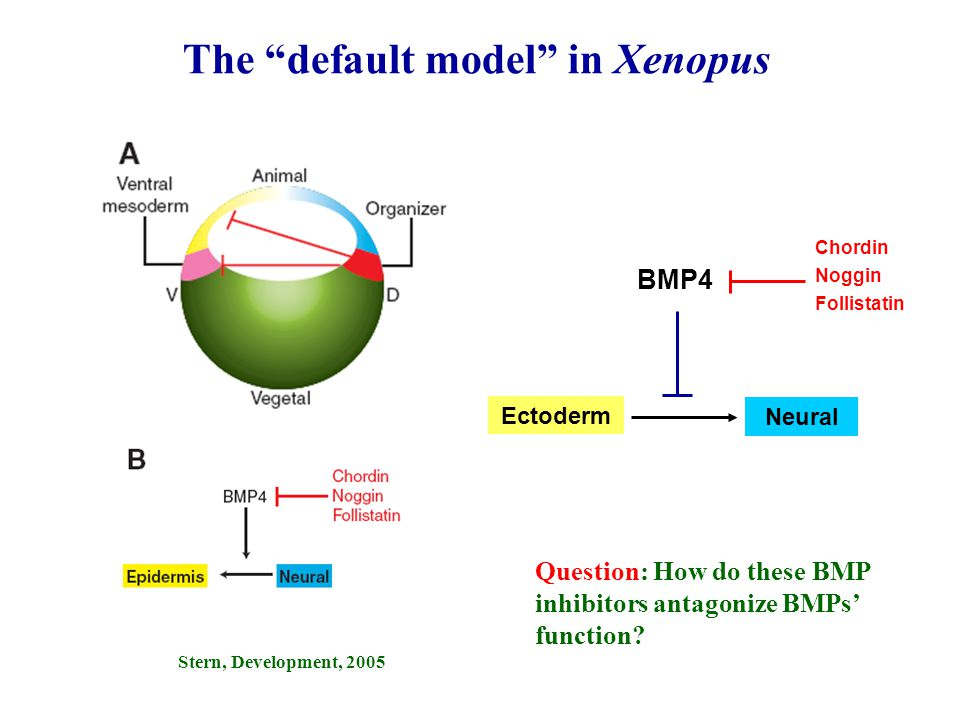 The default model in Xenopus