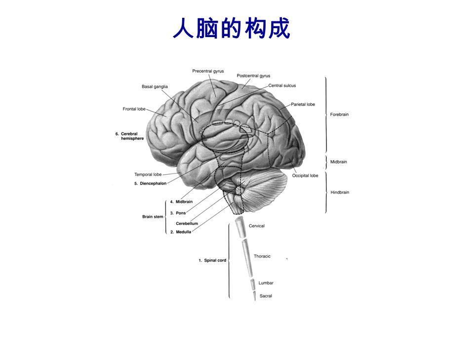 人脑的构成