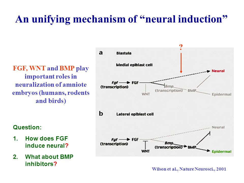 An unifying mechanism of neural induction