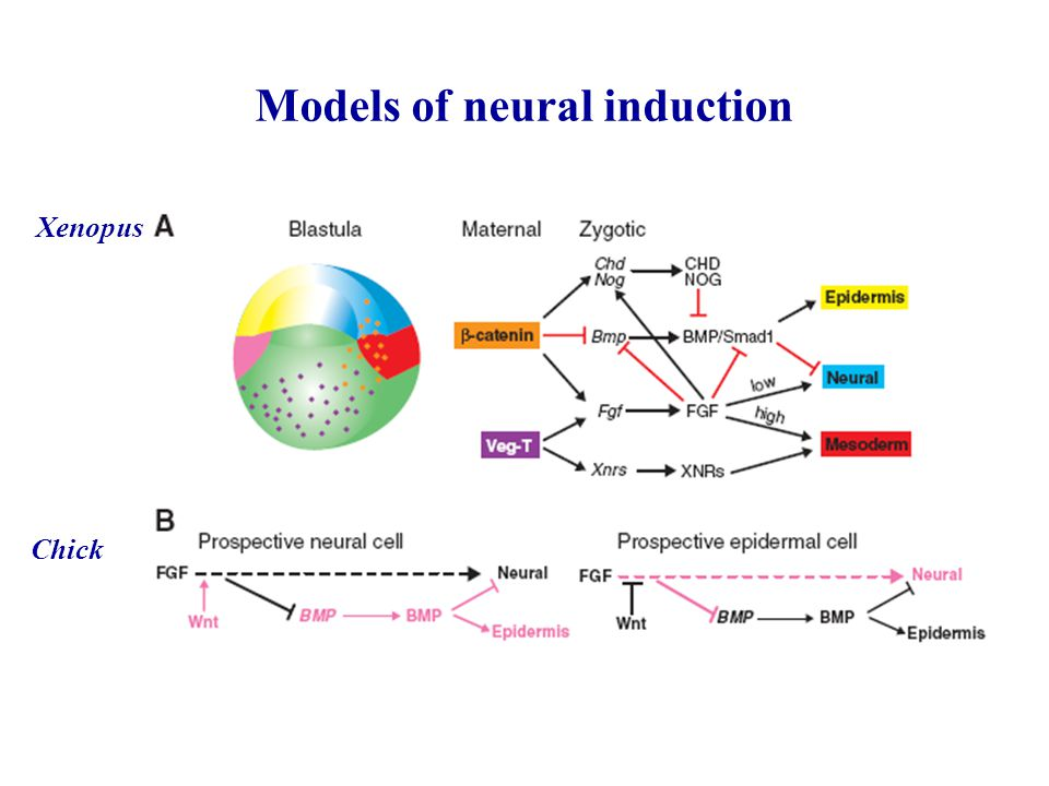 Models of neural induction