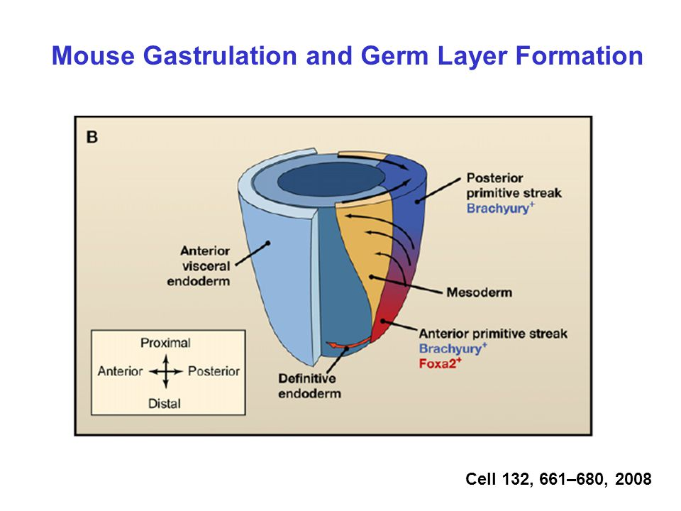 Mouse Gastrulation and Germ Layer Formation