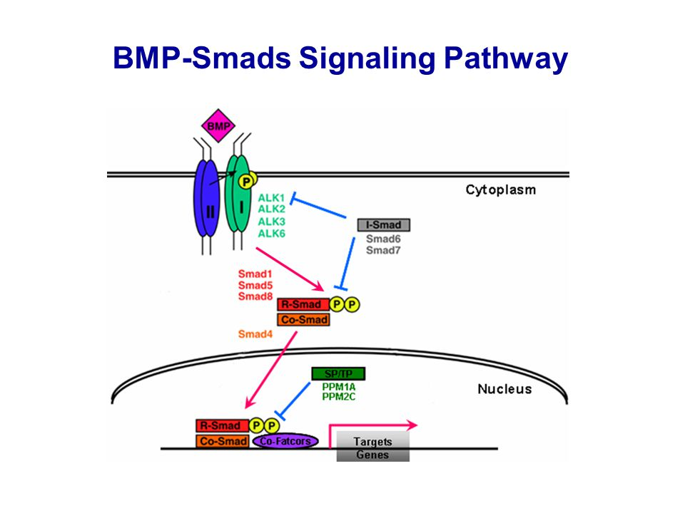 BMP-Smads Signaling Pathway