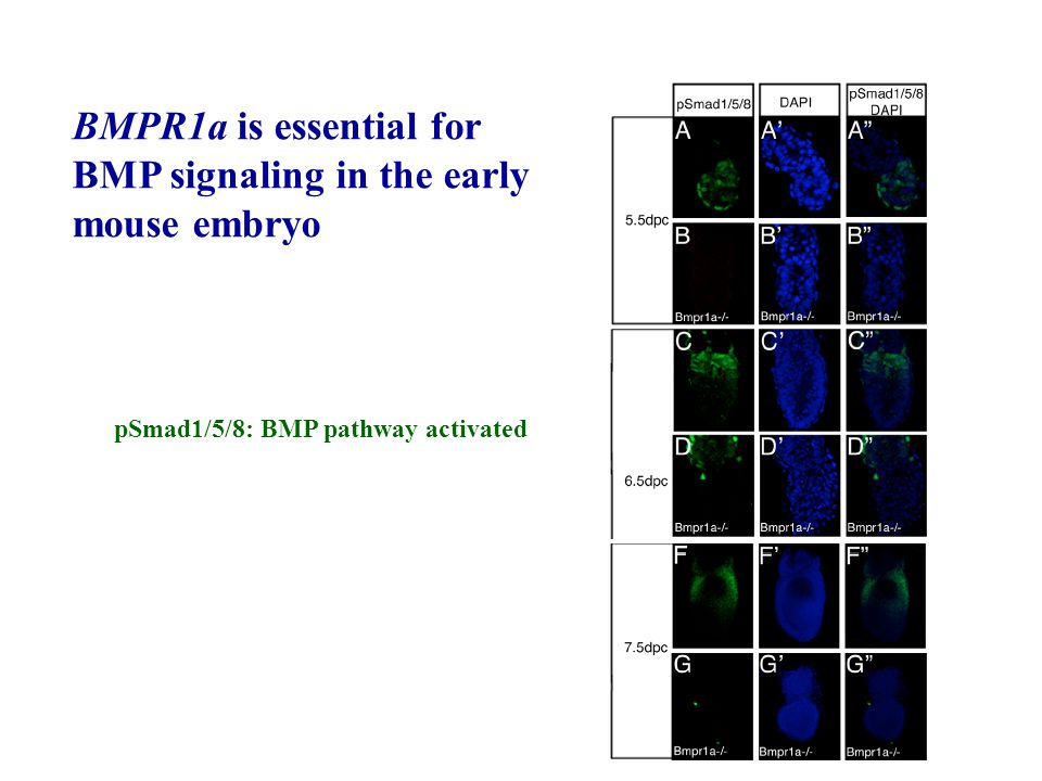 pSmad1/5/8: BMP pathway activated