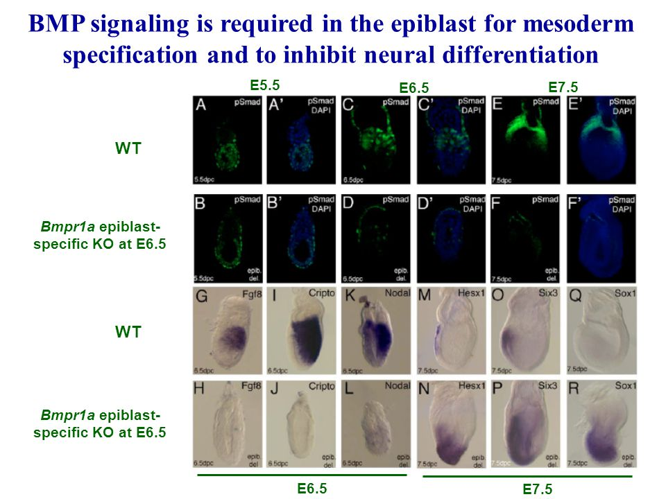 BMP signaling is required in the epiblast for mesoderm specification and to inhibit neural differentiation