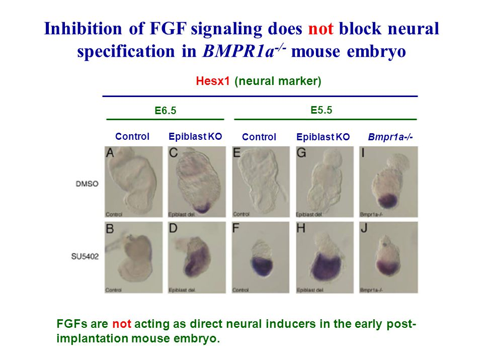 Inhibition of FGF signaling does not block neural specification in BMPR1a-/- mouse embryo