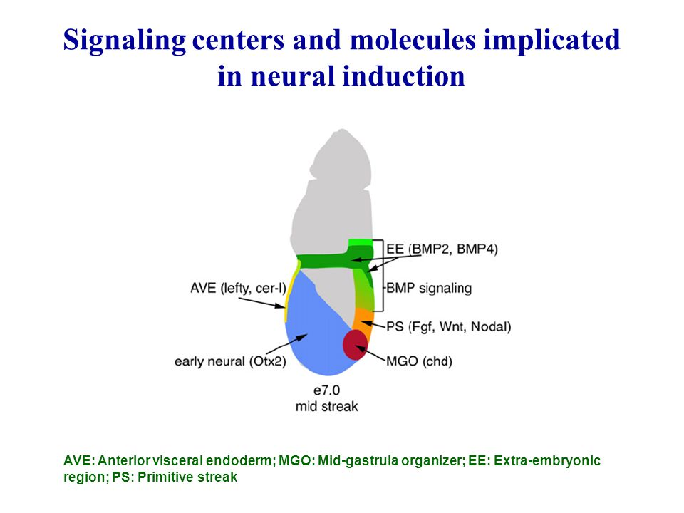 Signaling centers and molecules implicated in neural induction