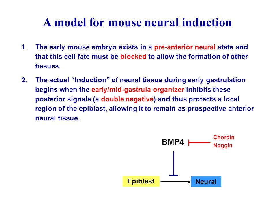 A model for mouse neural induction