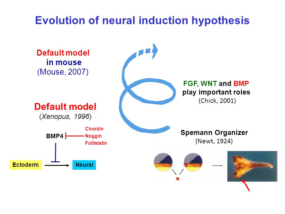 Evolution of neural induction hypothesis