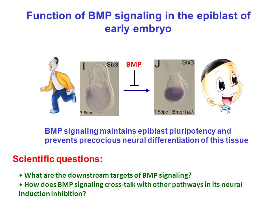 Function of BMP signaling in the epiblast of early embryo