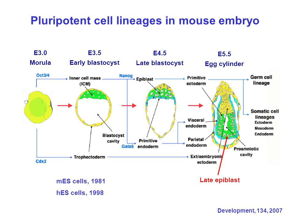 Pluripotent cell lineages in mouse embryo