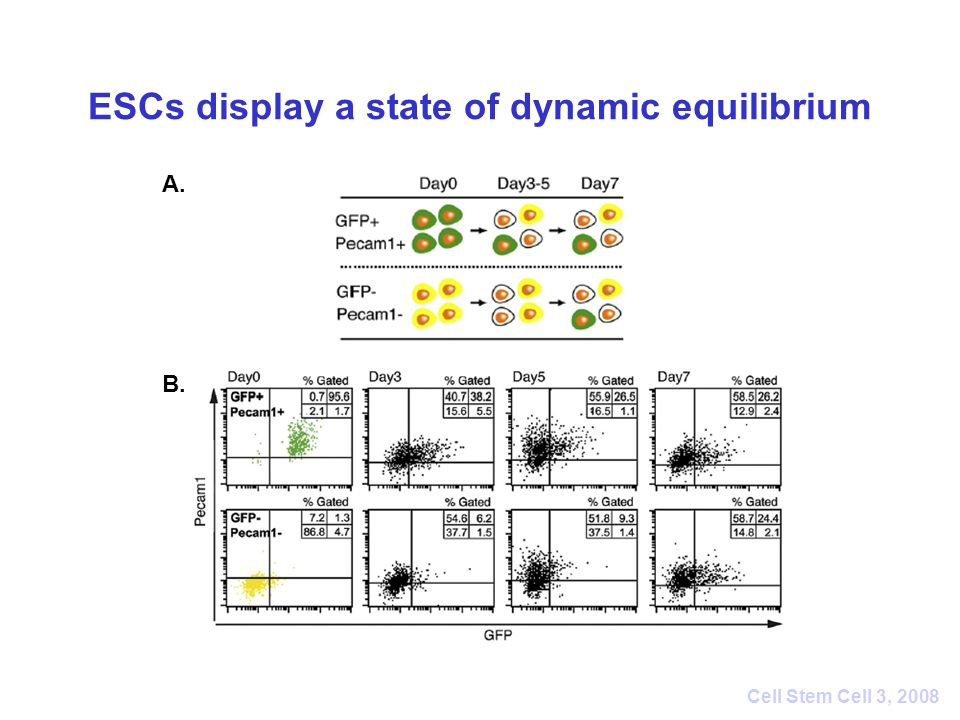 ESCs display a state of dynamic equilibrium