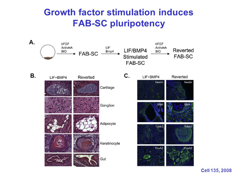 Growth factor stimulation induces FAB-SC pluripotency