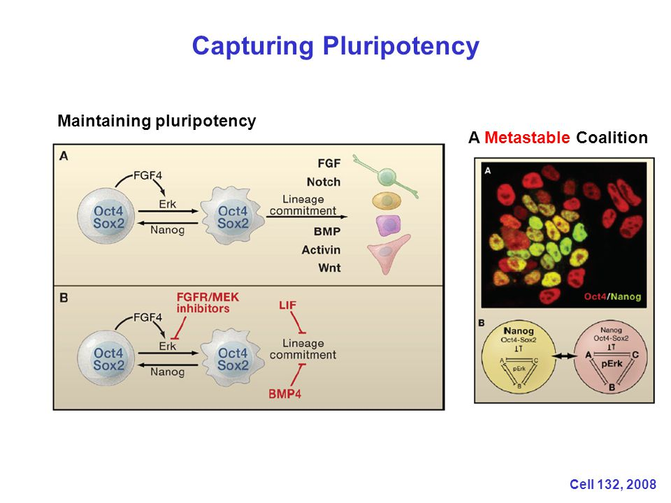 Capturing Pluripotency A Metastable Coalition