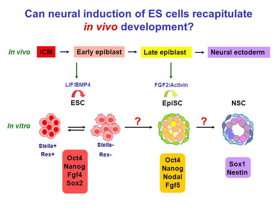Can neural induction of ES cells recapitulate in vivo development