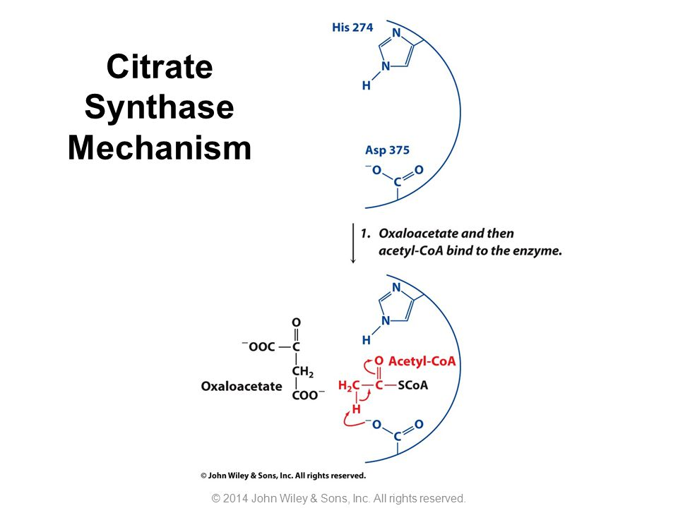 Citrate Synthase Mechanism