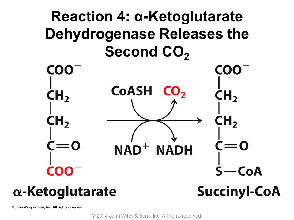 Reaction 4: α-Ketoglutarate Dehydrogenase Releases the Second CO2