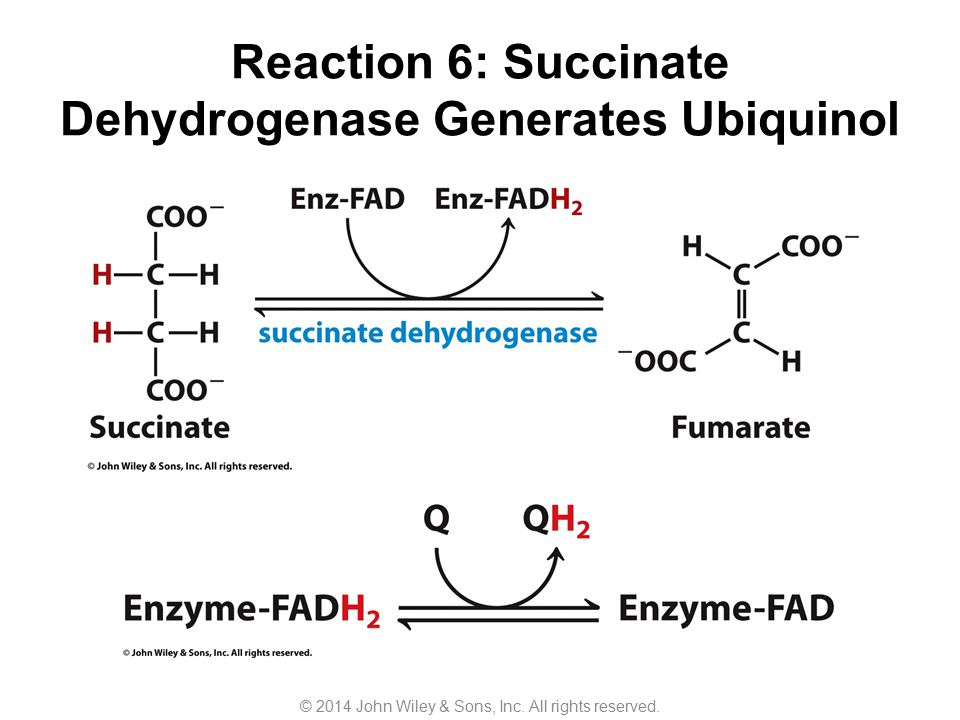 Reaction 6: Succinate Dehydrogenase Generates Ubiquinol