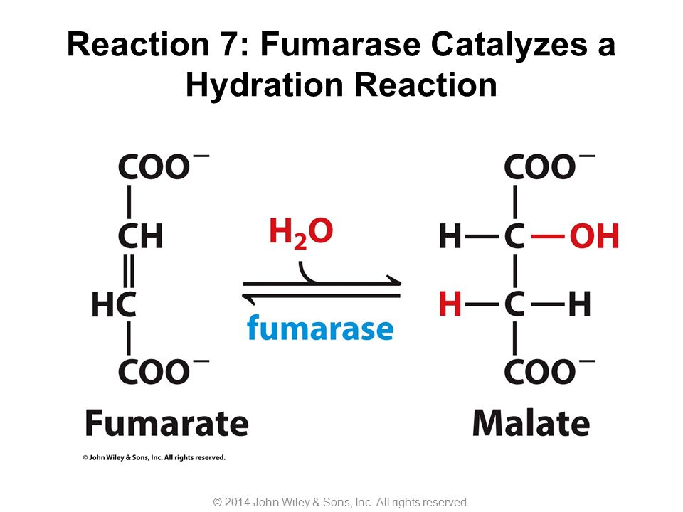 Reaction 7: Fumarase Catalyzes a Hydration Reaction