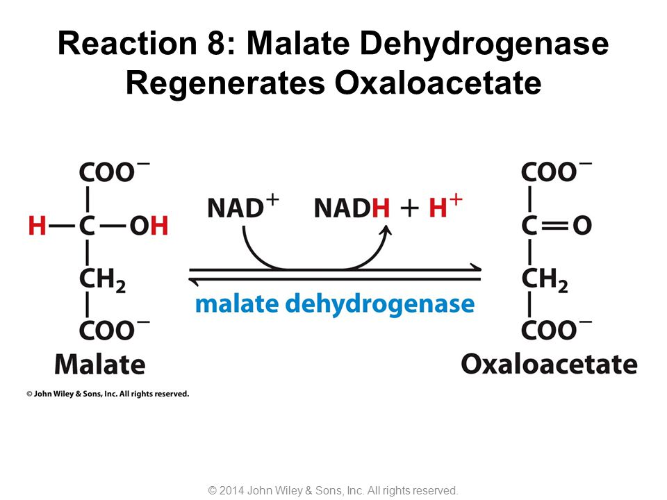 Reaction 8: Malate Dehydrogenase Regenerates Oxaloacetate