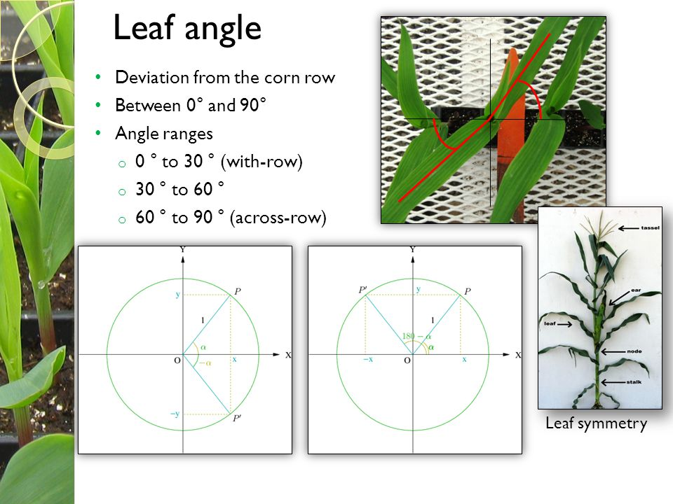 Leaf angle Deviation from the corn row Between 0° and 90° Angle ranges