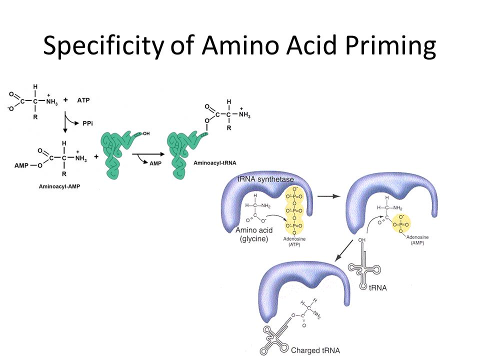 Specificity of Amino Acid Priming