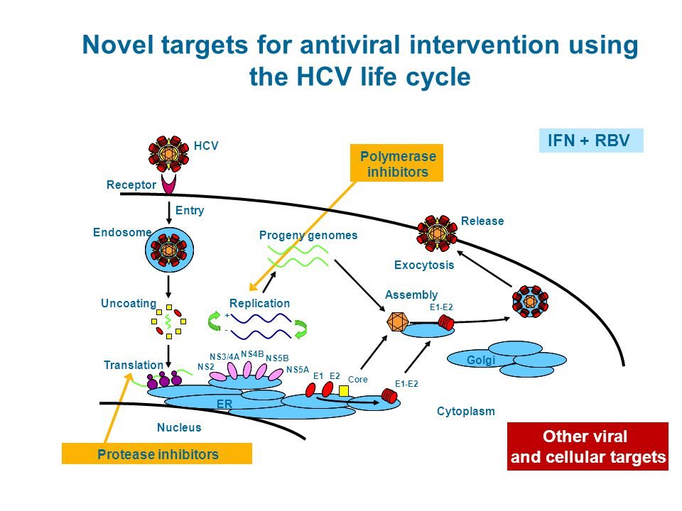 Novel targets for antiviral intervention using the HCV life cycle