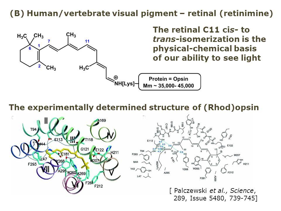 (B) Human/vertebrate visual pigment – retinal (retinimine)