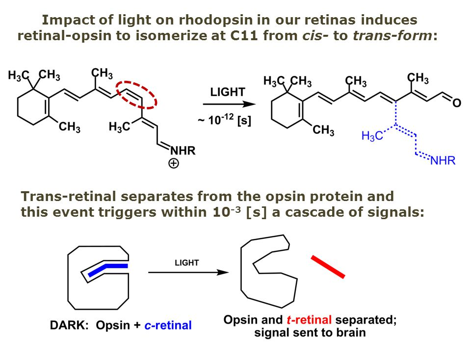 Impact of light on rhodopsin in our retinas induces