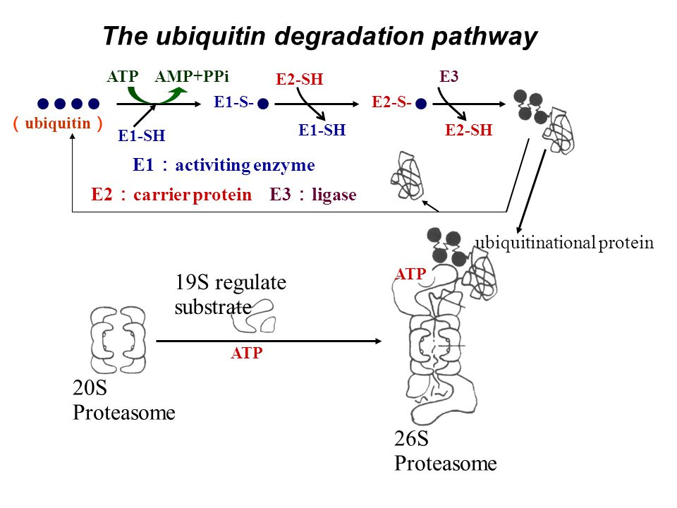 The ubiquitin degradation pathway E2:carrier protein E3:ligase
