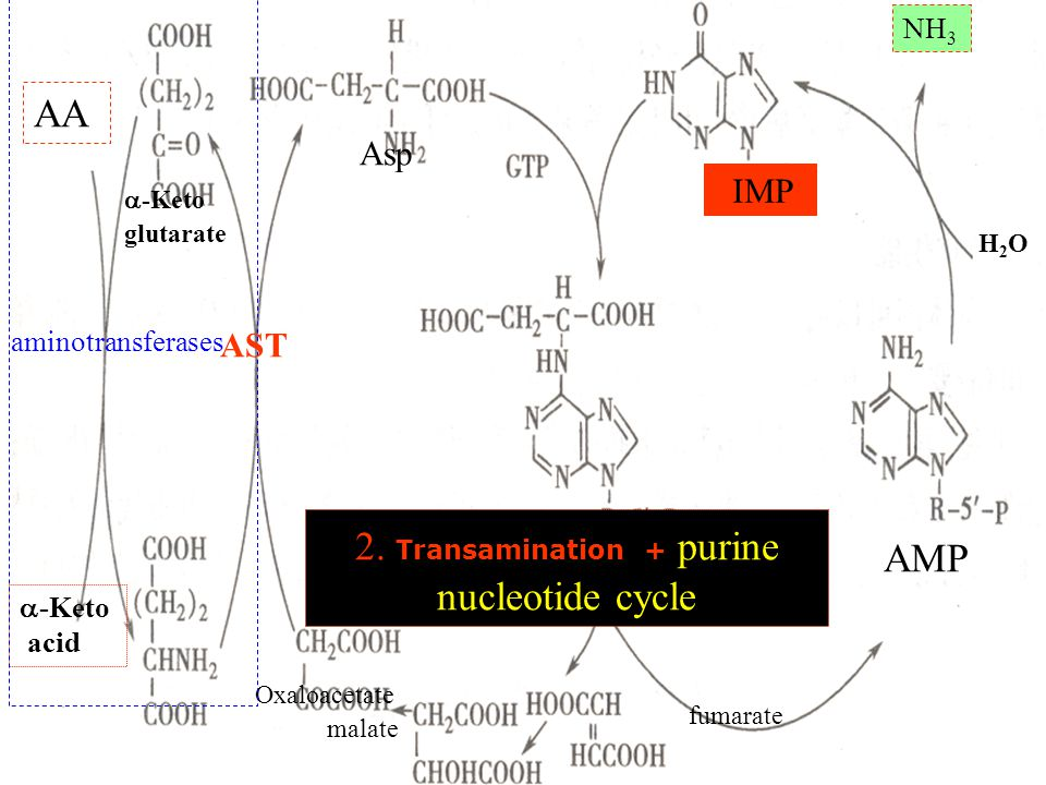 2. Transamination + purine nucleotide cycle