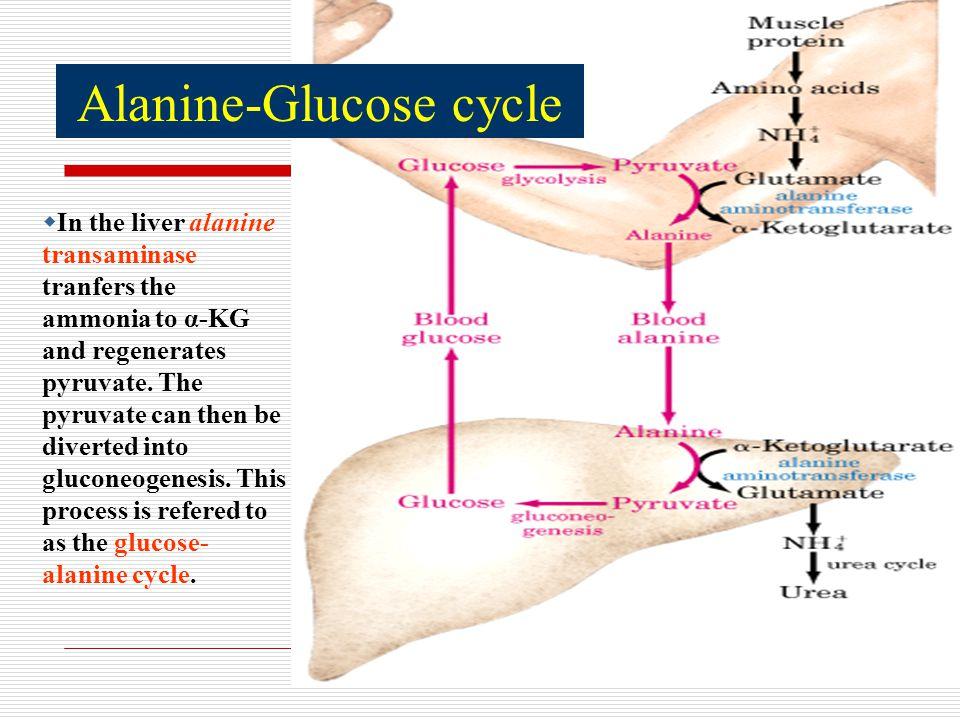 Alanine-Glucose cycle