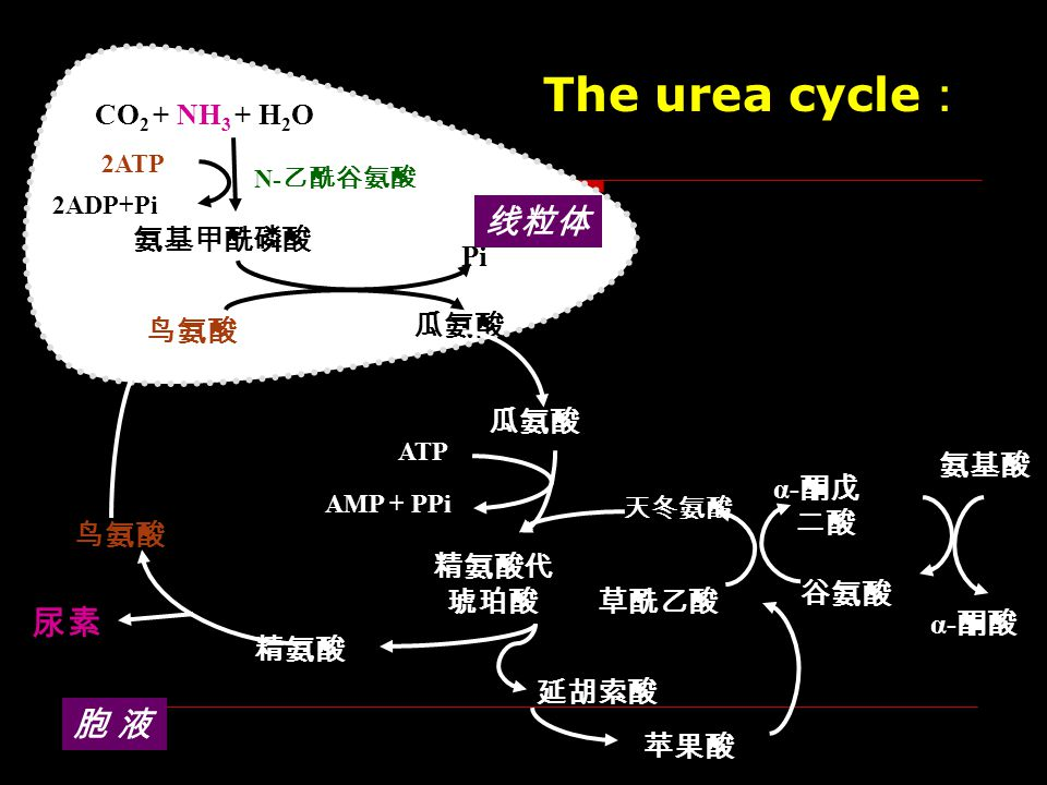 The urea cycle: 线粒体 尿素 胞 液 CO2 + NH3 + H2O 氨基甲酰磷酸 Pi 瓜氨酸 鸟氨酸 瓜氨酸 氨基酸
