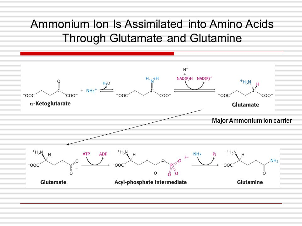 Ammonium Ion Is Assimilated into Amino Acids Through Glutamate and Glutamine