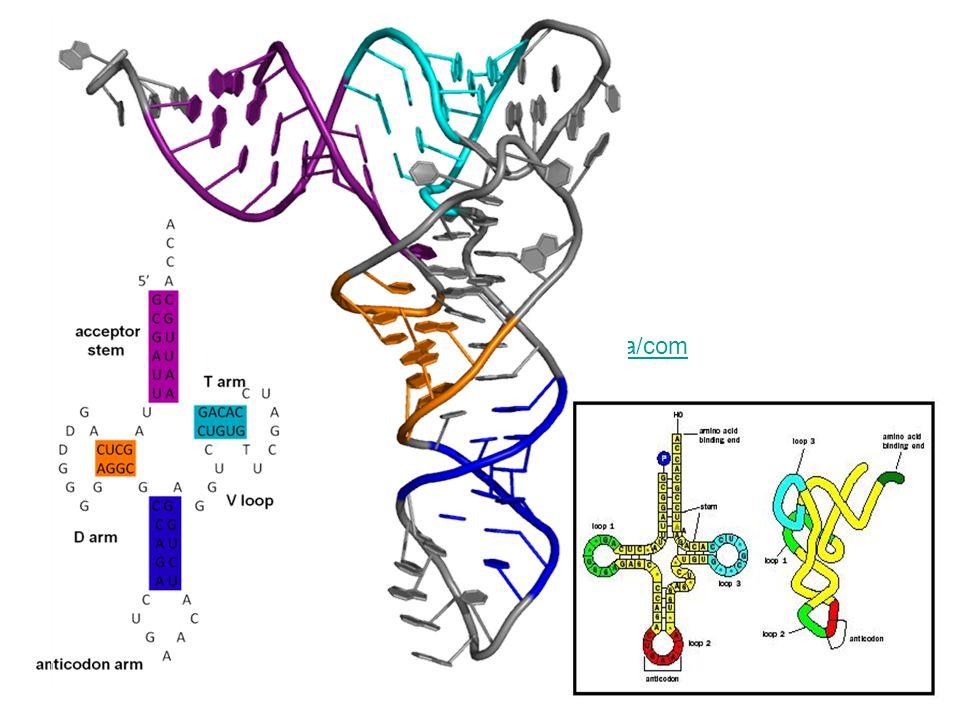 http://upload.wikimedia.org/wikipedia/commons/b/bf/TRNA_all2.png http://www.biologyreference.com/images/biol_04_img0444.jpg.