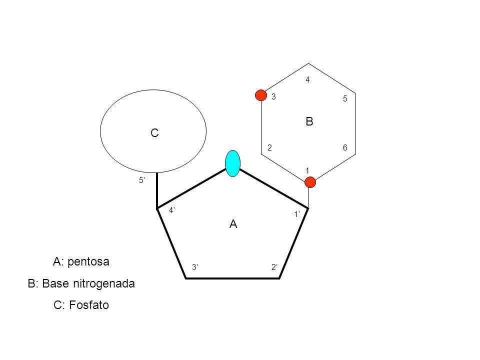 B C A A: pentosa B: Base nitrogenada C: Fosfato 1' 2' 3' 4' 5' 1 2 3 4