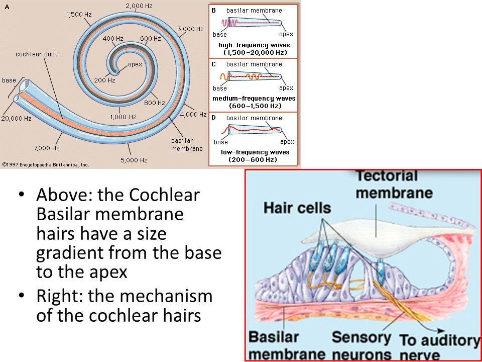 Above: the Cochlear Basilar membrane hairs have a size gradient from the base to the apex