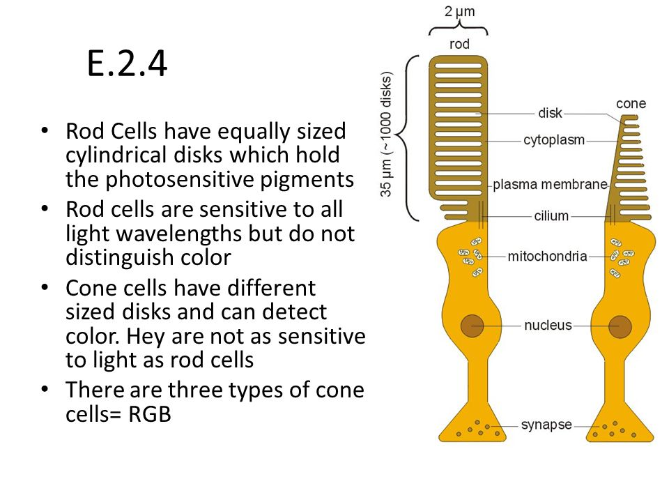 E.2.4 Rod Cells have equally sized cylindrical disks which hold the photosensitive pigments.