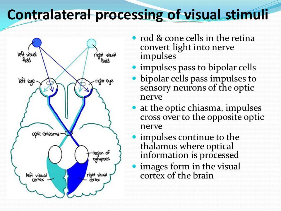 Contralateral processing of visual stimuli