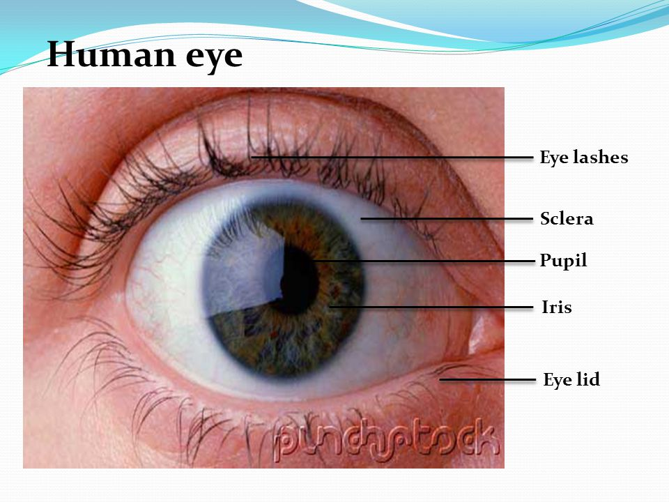 Human eye Eye lashes Sclera Pupil Iris Eye lid