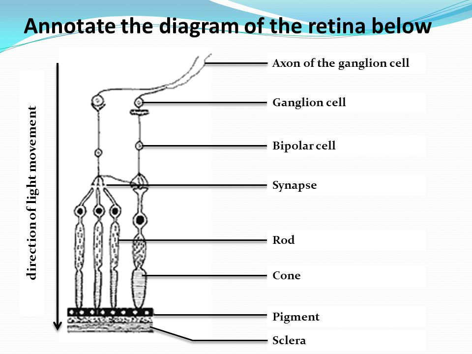 Annotate the diagram of the retina below