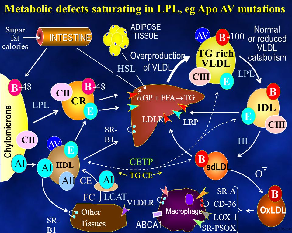 . Metabolic defects saturating in LPL, eg Apo AV mutations B E B B B E