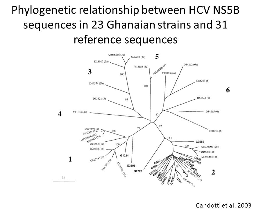 Phylogenetic relationship between HCV NS5B sequences in 23 Ghanaian strains and 31 reference sequences