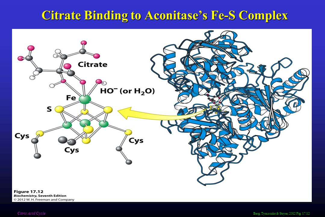Citrate Binding to Aconitase's Fe-S Complex