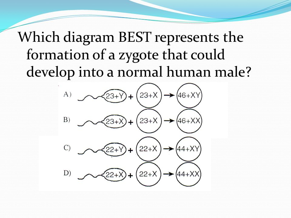 Which diagram BEST represents the formation of a zygote that could develop into a normal human male