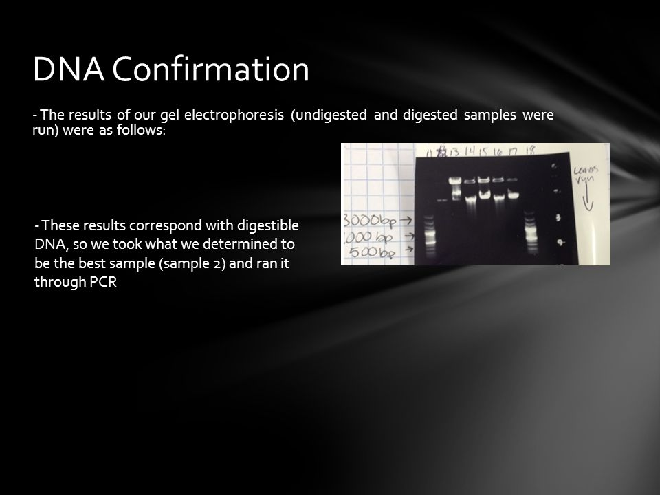 DNA Confirmation - The results of our gel electrophoresis (undigested and digested samples were run) were as follows: