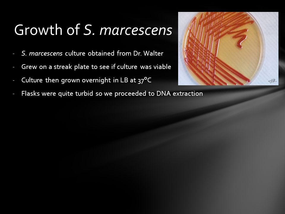 Growth of S. marcescens S. marcescens culture obtained from Dr. Walter