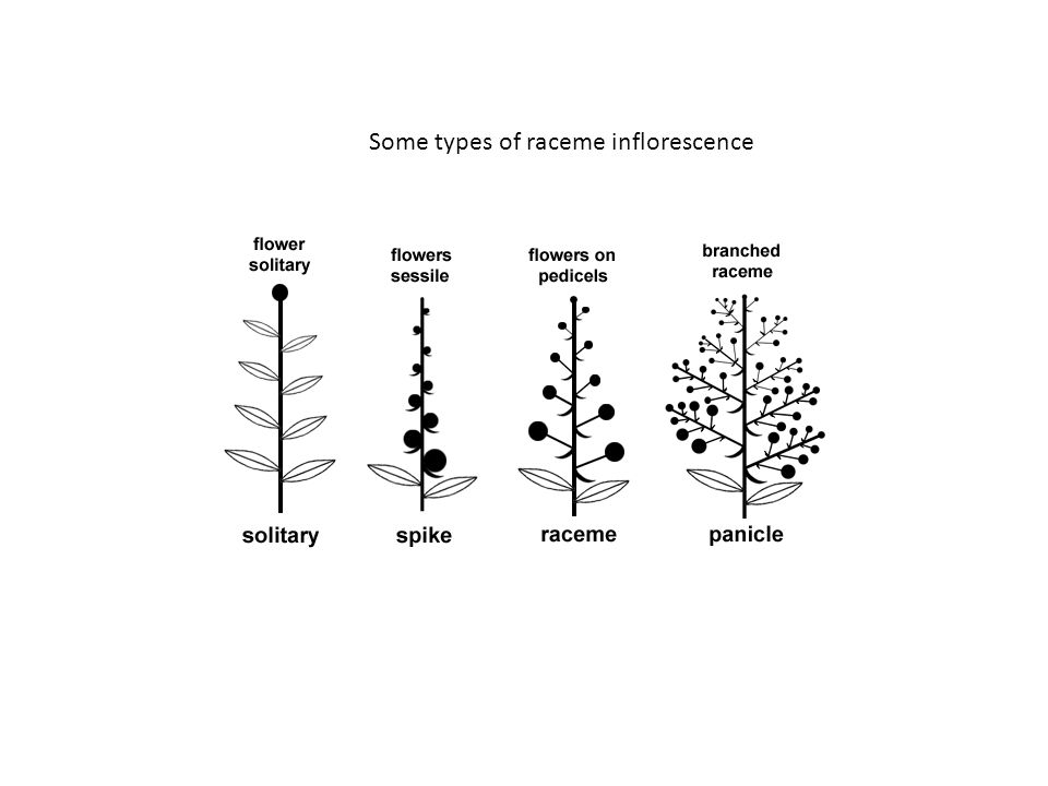 Some types of raceme inflorescence