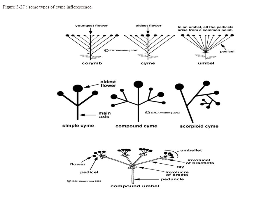 Figure 3-27 : some types of cyme inflorescence.