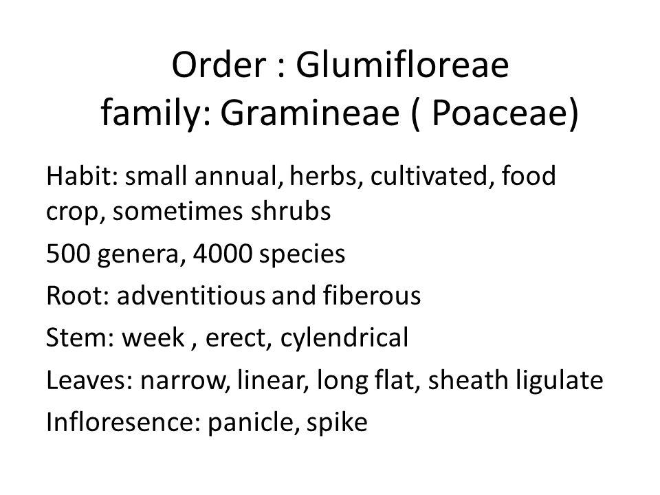 Order : Glumifloreae family: Gramineae ( Poaceae)