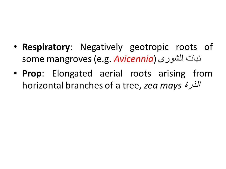 Respiratory: Negatively geotropic roots of some mangroves (e. g